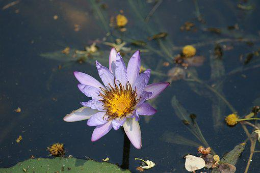 Ngwenyalodge, Kruger Park, Wildflower, Africa