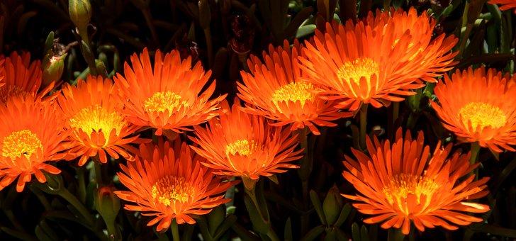 Flowers, Orange, Bloom, Succulent, Pigface, Garden