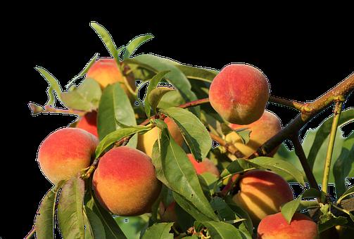 Peaches, Isolated, Fruit, Eat, Bio, Nature, Peach Tree