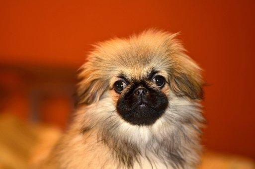 Pekingese, Puppy, Dog, Cute, Charming, Furry, Eyes