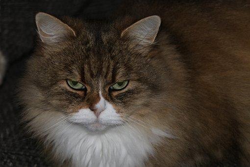 Cats, Cat, Long Hair, Pet, Animals, Mammal, Eyes