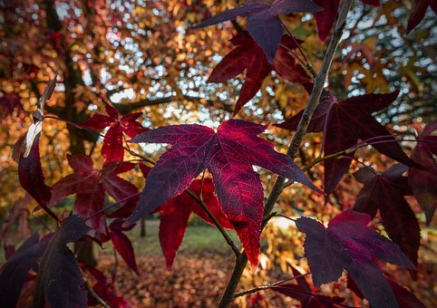 Red Maple, Maple, Tree, Autumn, Red, Leaves, Leaf