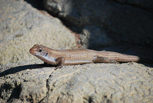 Lizard, Skink, Reptile