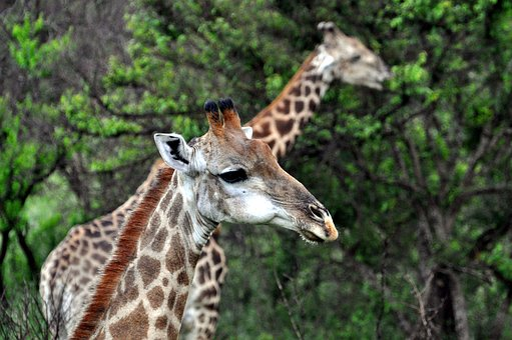 Giraffe, Africa, Animal World, Safari, Head, Savannah