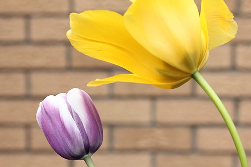 Tulip, Plant, Spring, Flower, Season, Garden, Bloom
