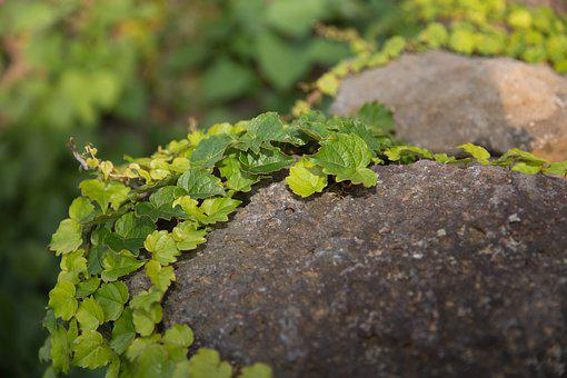 Ivy, Stone, Plants, Vine, Stone Wall, Background