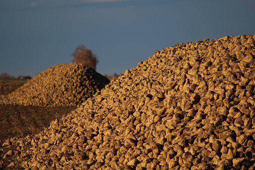 Agriculture, Sugar Beet, Arable, Harvest, Field, Autumn