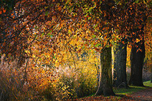 Autumn, Park, Leaves, Sycamore, Nature, Tree