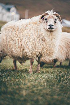 Travel, Photography, Winter, Cold, Sheep, Animal