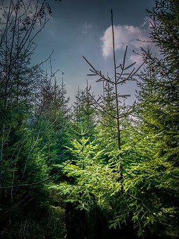 Forest, Firs, Black Forest, Nature, Landscape, Trees