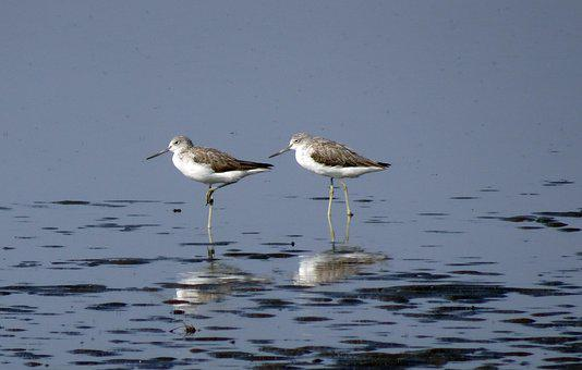 Common Greenshank, Tringa Nebularia, Wader