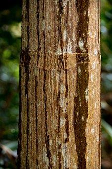 Palm, Tree, Trunk, Bangalow Palm, Rain, Brown, Growth