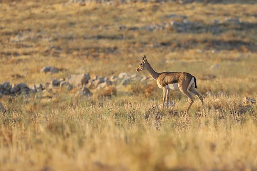Antelope, Animals, Safari, Africa, Wild, Nature