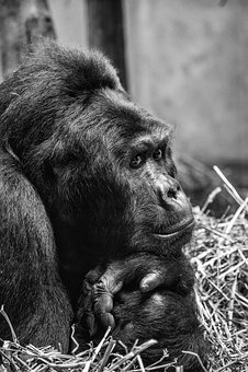 Gorilla, Humanoid, Primate, Hominid, Animal, Mammal
