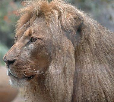 Lion, Male, Animal, Predator, Dangerous, Africa, Mane