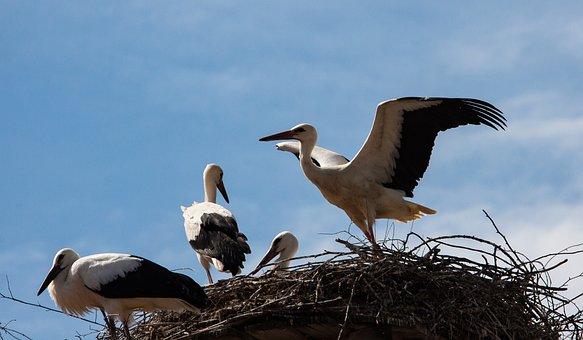 Stork, Storks, Bird, Animal, Animal World, Nest