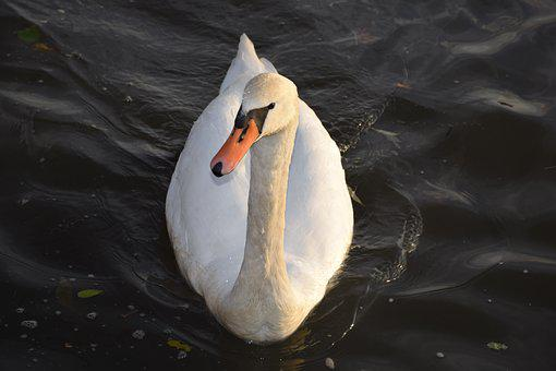 Svan, Schwan, Swan, Bird, White, Water, Animal World Of