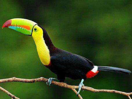 Toucan, Tropical, Animals