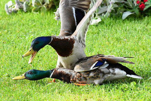 Ducks, To Stick With, Argue, Fight, Waterfowl
