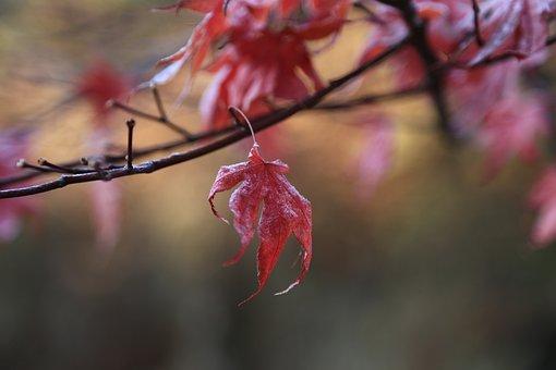 Autumn Leaves, Maple Leaf, The Leaves, Autumn, Nature