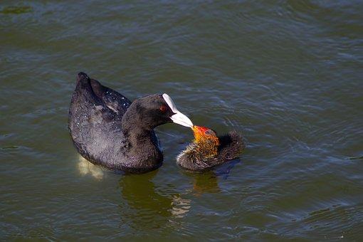 Bird, Eurasian Coot, Duck, Pond, River