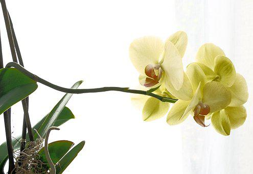 Orchid, Beautiful, Yellow, Blossom, Bloom, Houseplant