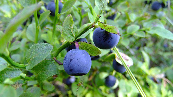 Blueberry, Proper Nutrition, Summer, Healthy, Ripe