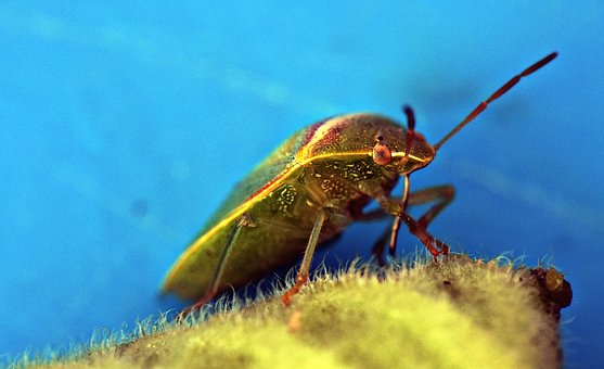 Green Bug, Insect, Arthropod, Leaf-eater, Camouflage