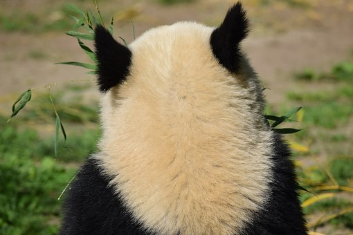 Panda, Bear, Chinese, Vienna, Zoo, Fur, Animal, Nature