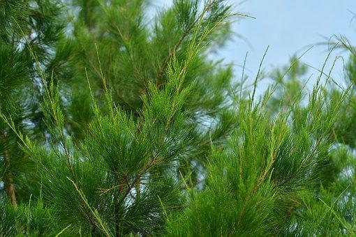 Conifer, Cypress, Pine, Tree, Green, Needles, Plant