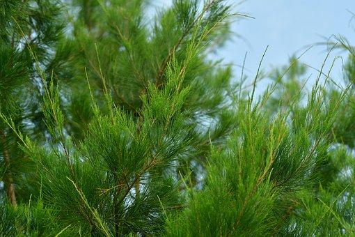 Conifer, Cypress, Pine, Tree, Green, Needles, Plant