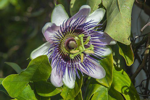 Passion Flower, Flower, Passion, Beauty, Nature, Garden