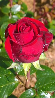 Rose, Red, Red Rose, In The Rain