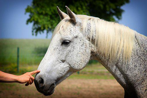Horse, Horse Head, Hand, Love For Animals, Animal