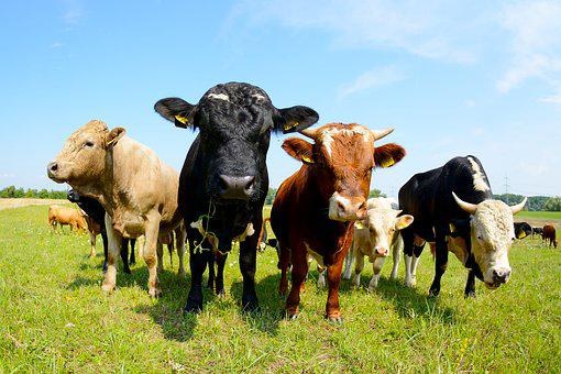 Cows, Hdr, Rural, Cattle, Farm, Meadow, Nature