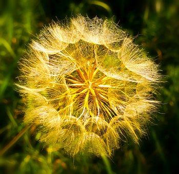 Dandelion, Flower, Family Wheatgrass, Plant, Nature