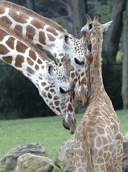 Giraffe, Animals, Africa, Mammal, Nature, Wild, Neck