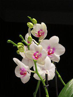 Flower, Orchid, White And Pink