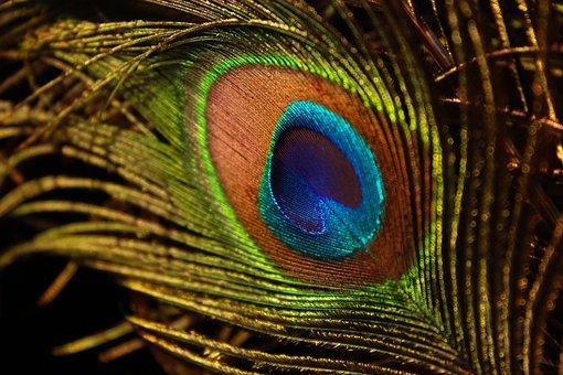 Peacock Feather, Wing, Bird, Peacock, Zoo, Outdoor