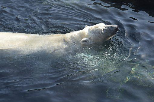 Polar Bear, White, Swim, Sea, Vienna Zoo, Cold