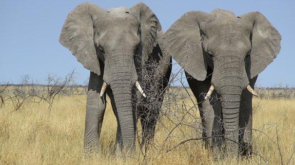 Africa, Elephant, Namibia, Proboscis, Heiss