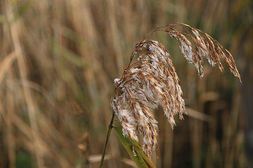 Reed, Autumn, Nature, Silver Grass, Reeds, Ice, Snow