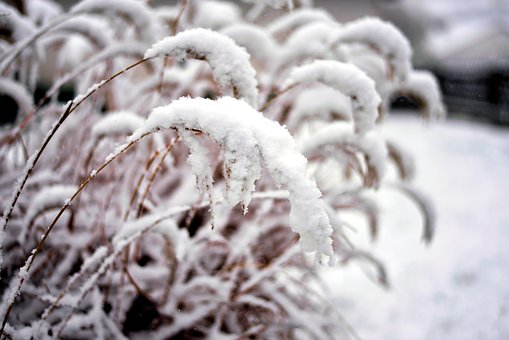 Snow, Winter, Snowfall, Snowy, Grasses, Nature, Cold
