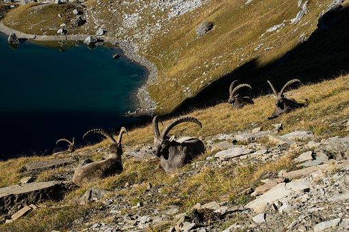 Alps, Ibex Mountain, Animals, Corners, Fauna, Nature
