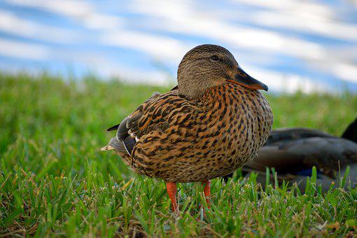 Duck, Wildlife, Bird, Avian, Nature, Animal, Bill