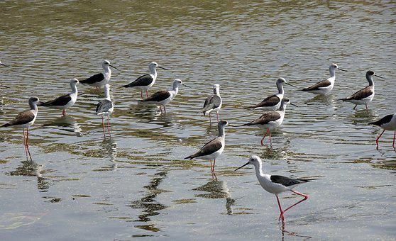 Bird, Black-winged Stilt, Flock, Common Stilt