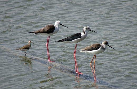 Bird, Black-winged Stilt, Common Stilt, Pied Stilt