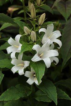 Campanula, White, Flowers, Summer, Bluebells, Garden