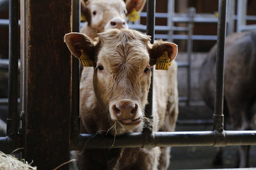 Calf, Beef, Cow, Agriculture, Cattle, Young Animal