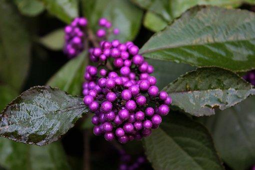 Callicarpa Bodinieri Profusion, Purple, Berries, Autumn